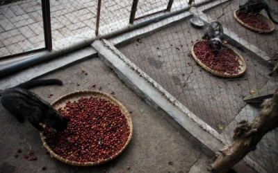 Learn about Huong Weasel Coffee